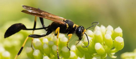 quelle-sont-les-differentes-especes-d-hymenopteres